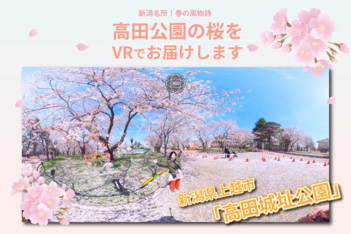 【新潟名所!春の風物詩】高田公園の桜をVRでお届けします
