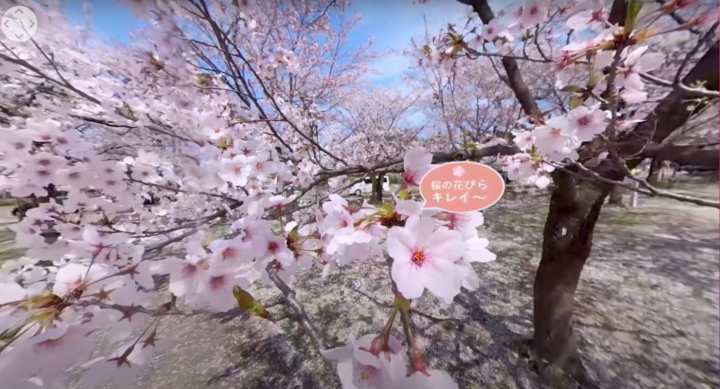 高田の桜VR映像1